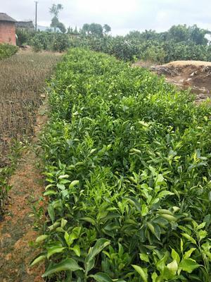 这是一张关于春见柑桔苗 杯苗袋苗 0.35~0.5米 的产品图片