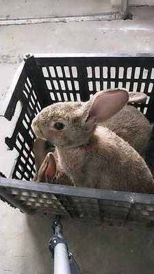 山东省滨州市邹平县杂交野兔 1-3斤