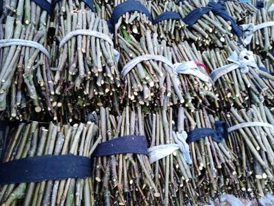 这是一张关于吴茱萸苗 中花吴茱萸枝条的产品图片