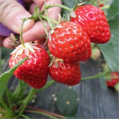 山东省临沂市平邑县宁玉草莓苗 30~40公分 地栽苗