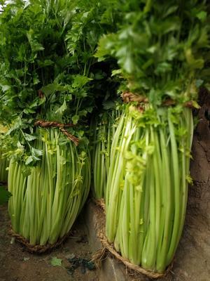 山东省青岛市平度市马家沟芹菜 60cm以上 0.5斤以下 大棚种植