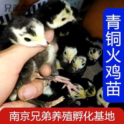 江苏省南京市江宁区青铜火鸡 2斤以下
