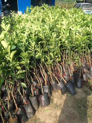 这是一张关于福建柚子苗 的产品图片