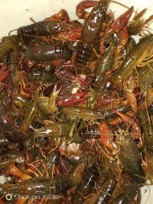 这是一张关于红壳小龙虾 5-7钱 稻田虾 的产品图片