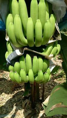 海南省海南省昌江黎族自治县巴西香蕉 七成熟