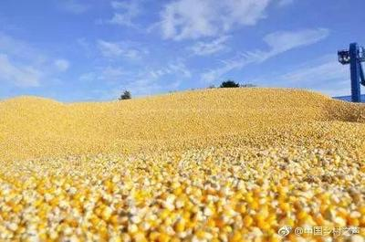 这是一张关于玉米糁 净货 水份14%-16% 的产品图片