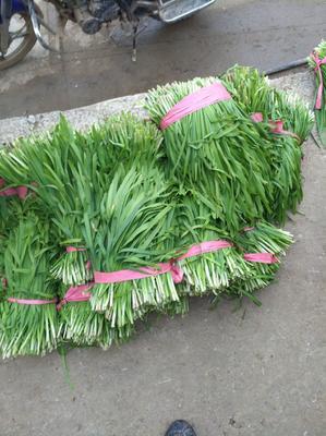 贵州省安顺市普定县大叶韭菜 三茬 20~30cm