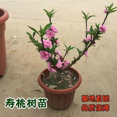 山东省临沂市兰山区寿星桃观花盆栽