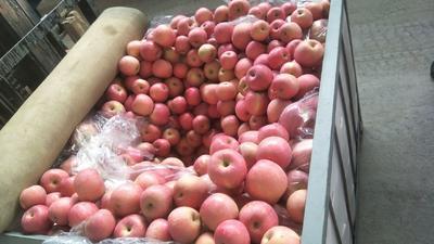 陕西省宝鸡市扶风县红富士苹果 70mm以上 片红 纸袋