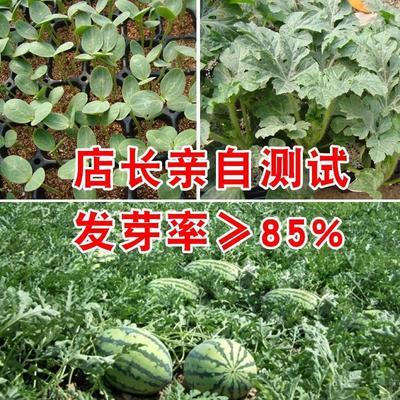 广东省惠州市惠阳区冰糖麒麟王西瓜种子 亲本(原种) ≥85%