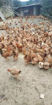 江西省赣州市章贡区土鸡 2-3斤 母