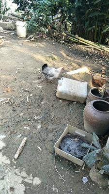 广西壮族自治区百色市田林县土鸡 2-3斤 母