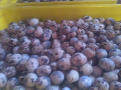 黑龙江省大庆市肇州县白羽鹌鹑蛋 食用 散装