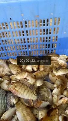 广西壮族自治区梧州市藤县野生河鳊鱼 野生 0.5公斤以下