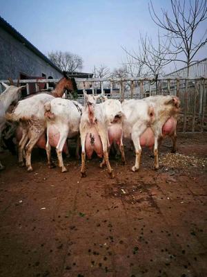 山东省济宁市嘉祥县奶山羊 110-140斤
