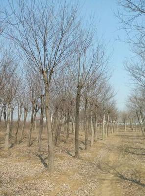 四川省成都市郫县丛生朴树