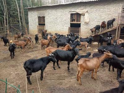 这是一张关于黑山羊 50-80斤 的产品图片