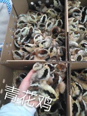 云南省昆明市官渡区土鸡苗  青花鸡
