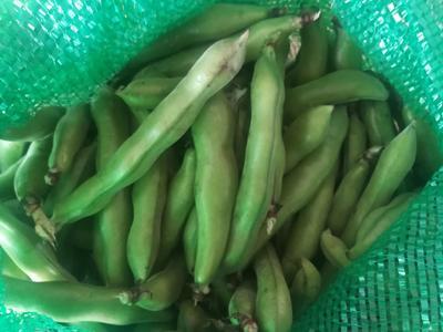 广东省河源市源城区新鲜蚕豆