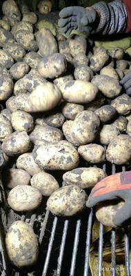 内蒙古自治区呼伦贝尔市牙克石市荷兰15号土豆 3两以上