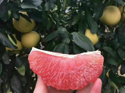 湖北省宜昌市点军区红心柚 3.5斤以上