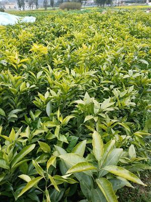 这是一张关于沃柑苗 嫁接苗 0.35~0.5米 的产品图片