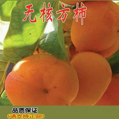 这是一张关于无核柿苗 的产品图片