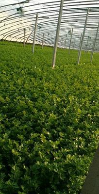 这是一张关于山芹 55~60cm 0.5斤以下 大棚种植 的产品图片