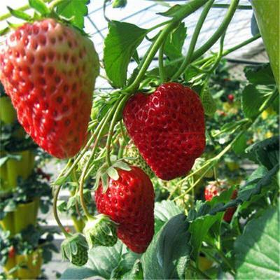 这是一张关于妙香7号草莓苗 30~40公分 地栽苗 的产品图片