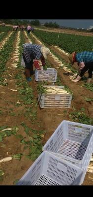 广东省潮州市潮安区白萝卜 2~2.5斤