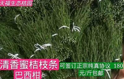 湖南省怀化市芷江侗族自治县巴西柑 2 - 2.5cm 1 - 1.5两