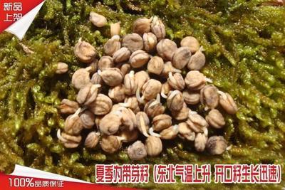 广东省惠州市惠阳区人参菜种子