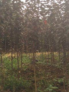 四川省成都市崇州市日本红叶樱花 2~3米 4公分以下