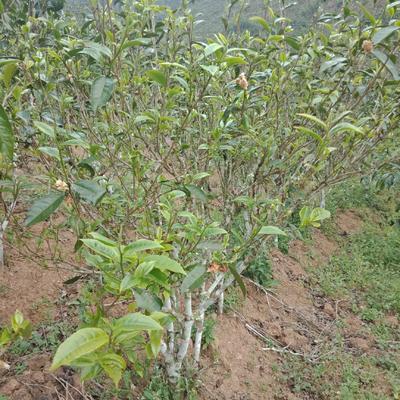 云南省西双版纳傣族自治州勐腊县普洱生态茶 一级 散装