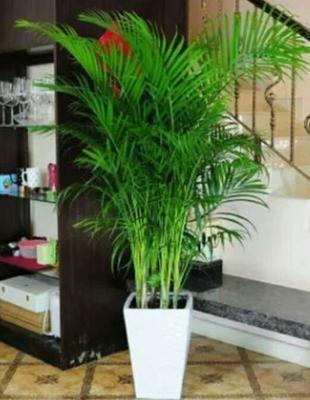 云南省昆明市呈贡区富贵椰子