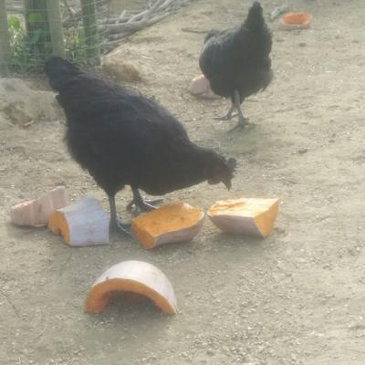 这是一张关于五黑鸡 2-3斤 统货 的产品图片