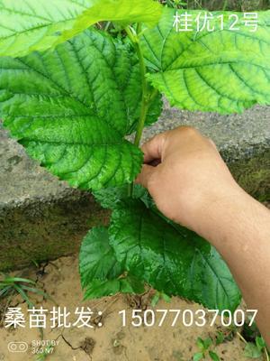 这是一张关于养蚕桑树苗 的产品图片
