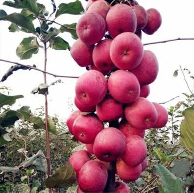 这是一张关于柱状苹果苗 1~1.5米 的产品图片