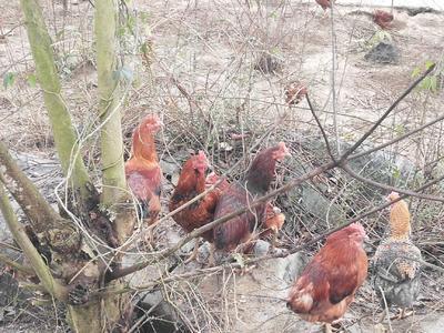贵州省铜仁市碧江区土鸡 3-4斤 统货