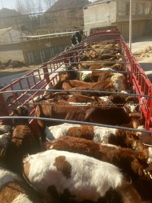 贵州省毕节市威宁彝族回族苗族自治县西门塔尔牛 400-600斤 公牛