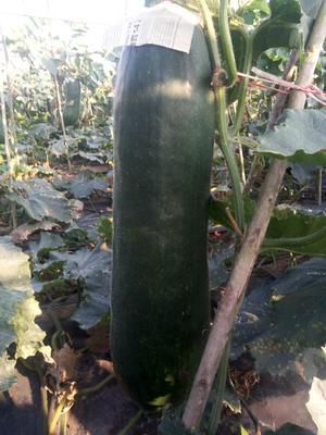 海南省儋州市儋州市黑皮冬瓜  10~20斤 吊冬瓜 地头鲜货,大量上市