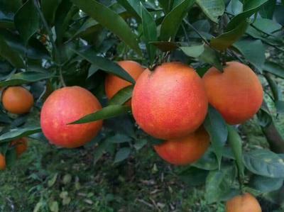 这是一张关于塔罗科血橙 55mm以下 4两以下 的产品图片