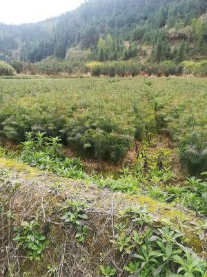 湖南省郴州市资兴市杉木树苗