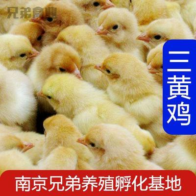 这是一张关于三黄鸡 2斤以下 统货 的产品图片