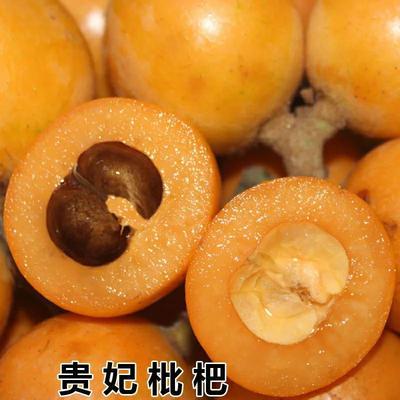 这是一张关于贵妃枇杷树苗 的产品图片