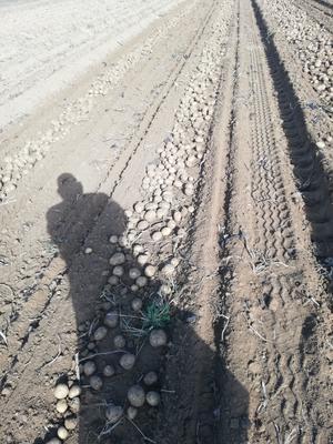 甘肃省定西市安定区大西洋土豆种子 原种