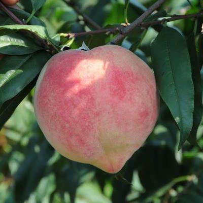 这是一张关于中华寿桃桃树苗 1~1.5米 的产品图片