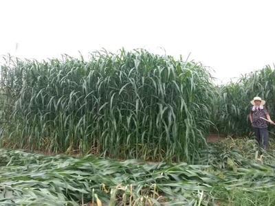 山东省济宁市梁山县甜高粱种子 常规种 ≥95%