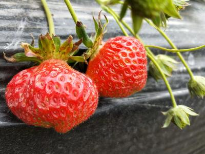 云南省昆明市西山区有机草莓 20克以下