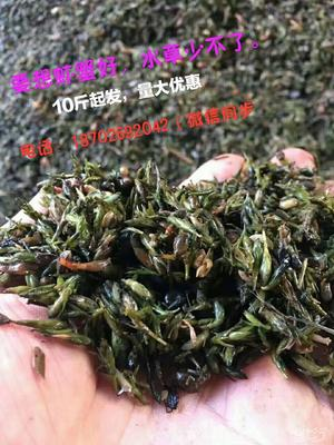 江苏省南京市溧水区轮叶黑藻  又称节节草养虾蟹必种